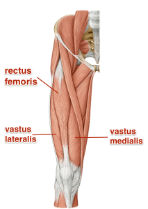 quadriceps_yoga_anatomy