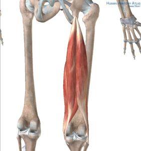 sitz bones hamstrings