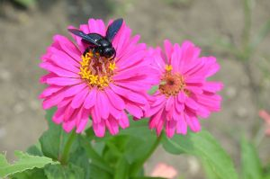 Indian Black bee on a zinnia, from wiki